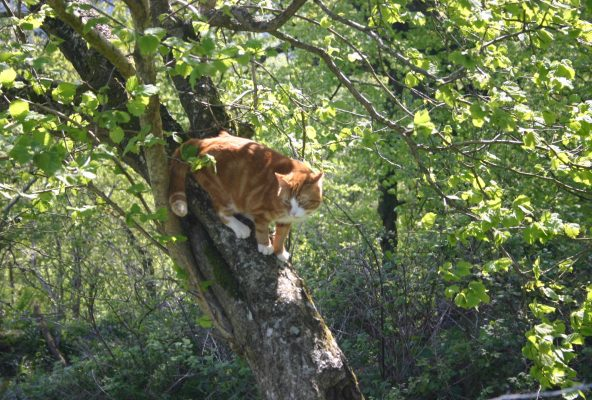 Ginger Tiger up at tree at Higher Wiscombe